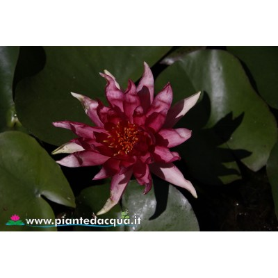 Waterlily Red Spider