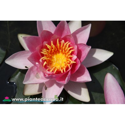 Waterlily Rene' Gerard