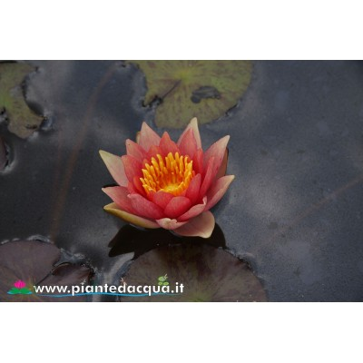 Waterlily Robinsoni