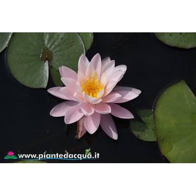 Waterlily Rosanna Supreme