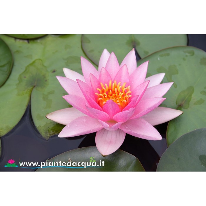 Waterlily Rosy Morn