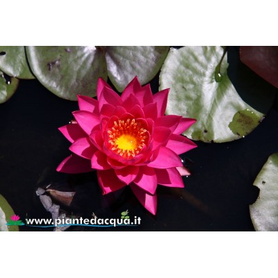 Waterlily Siam Beauty