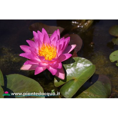 Waterlily Siam Marble