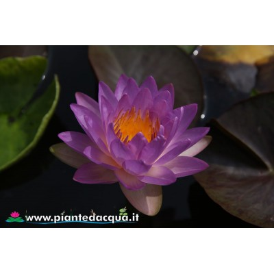 Waterlily Siam Purple
