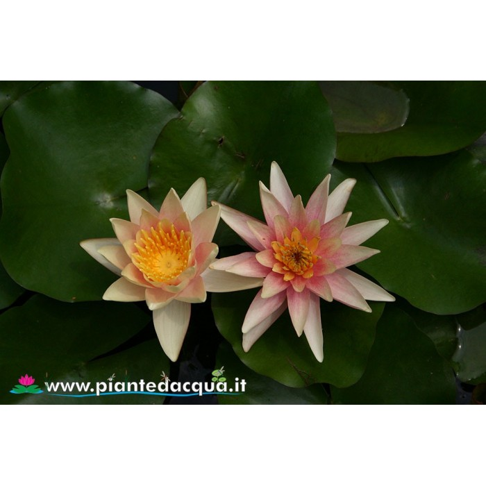 Waterlily Sioux