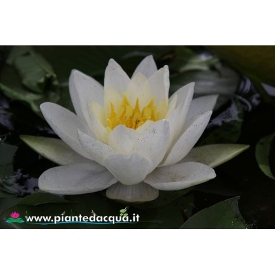 Waterlily Souvenir de Fridolfing