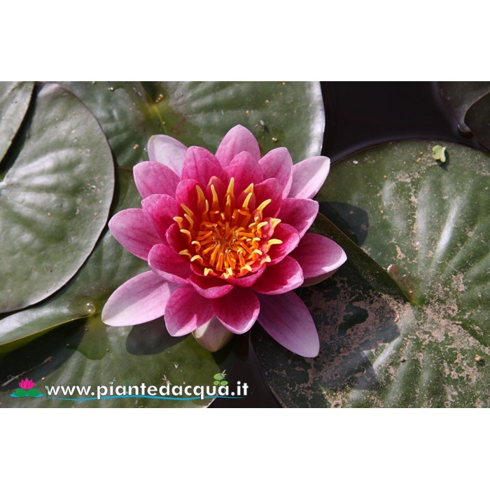 Waterlily Splendida