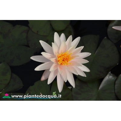 Waterlily Starbright