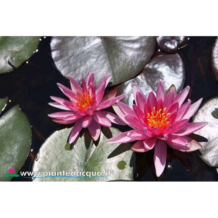 Waterlily Starburst