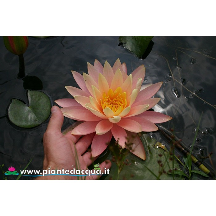 Waterlily Sunny Pink