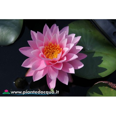 Waterlily Supranee Pink