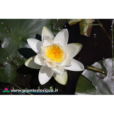 Waterlily Virginalis