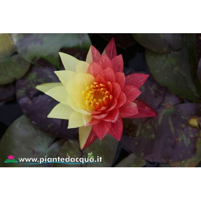 Waterlily Wanvisa