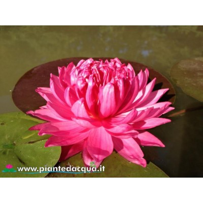 Waterlily Fuschia Pom Pom