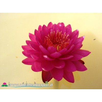 Waterlily Razzberry