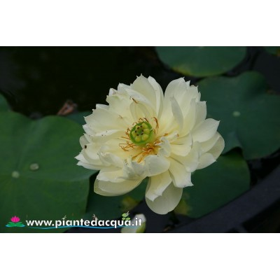 Lotus Jin Guang Can Lan