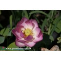 Lotus Rosy Clouds