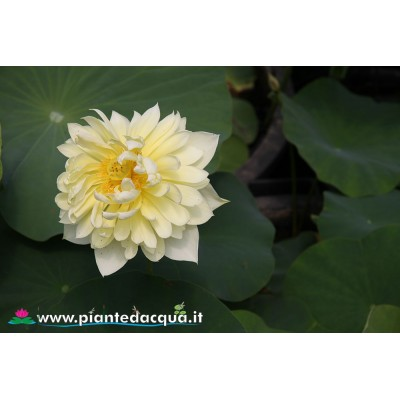 Lotus Autumn in Mooling