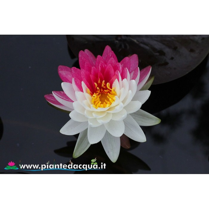 Waterlily Jakkaphong