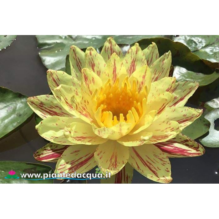 Waterlily Paranee