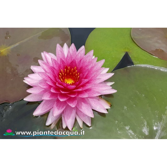 Waterlily Mahasombut