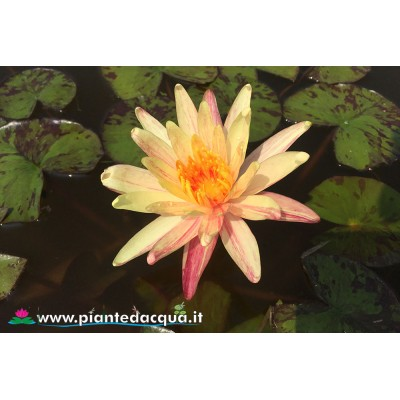 Waterlily Monsella