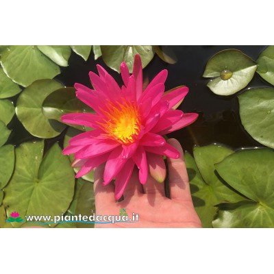 Waterlily Pink Silk