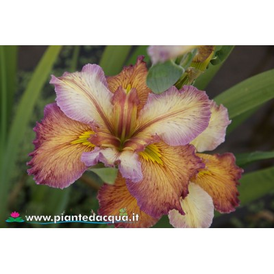 Iris Louisiana 10 pieces sale