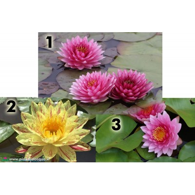 Kit best waterlilies 2018
