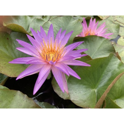 Waterlily Purple Silver