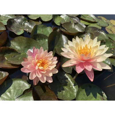 Waterlily Pan Mongkol